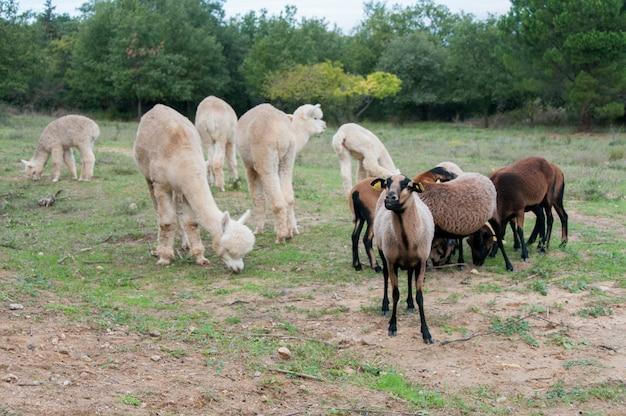 Животное cameron clip camelid kamerun-schafe domesticaed