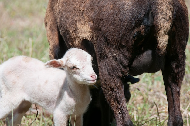 Камерунская овца эве с ее тарасконским крестом камерун двойные ягнята