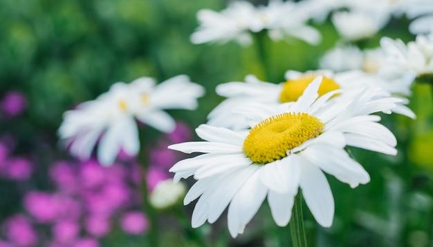 緑の芝生の背景にカモミールのクローズアップ。白い花。