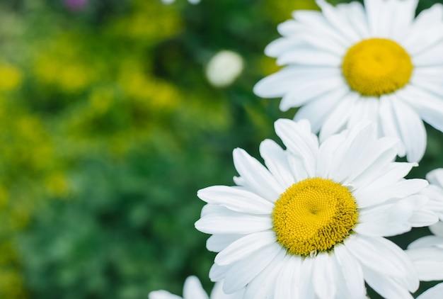 緑の草を背景にカモミールのクローズアップ。白い花。