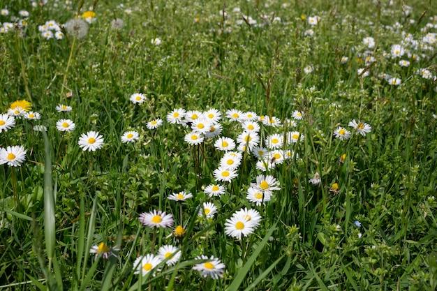 Ромашки цветы ромашки среди травы на лугу, лето на природе