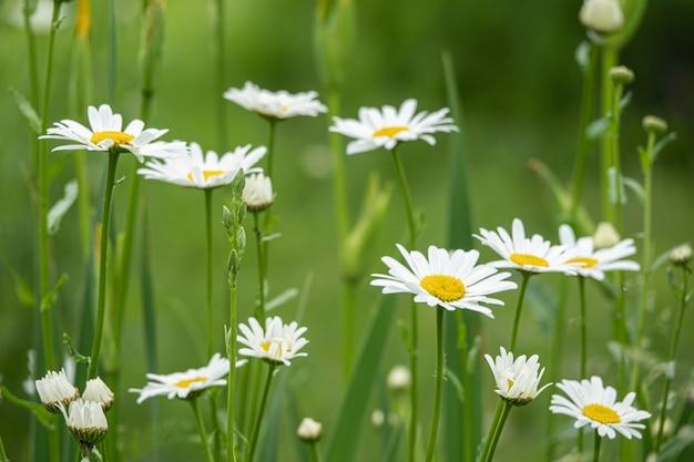 흐릿한 정원 배경에서 카모마일 데이지 꽃