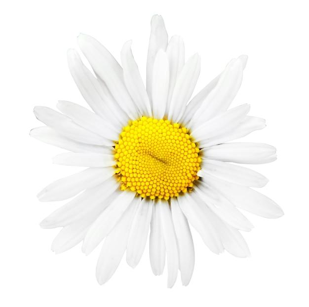 Цветок ромашки, изолированные на ничуть
