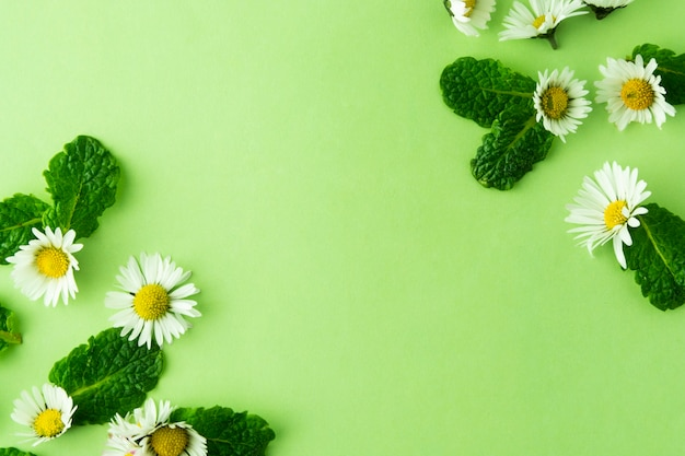 Camomile flower and mint herbs on green. summer green background.