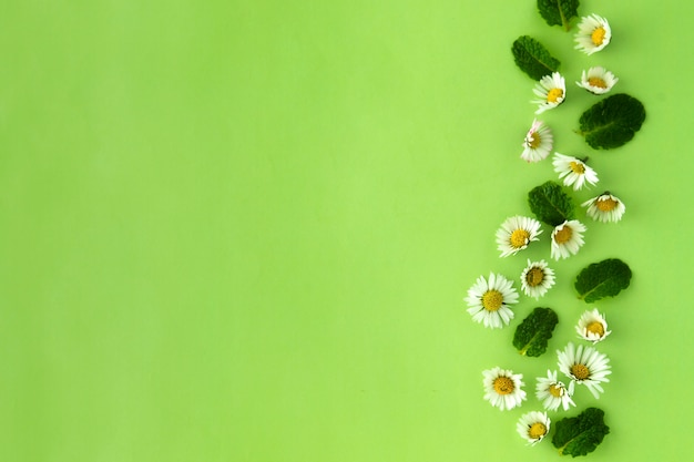 Camomile flower and mint herbs on green, for tea or design.