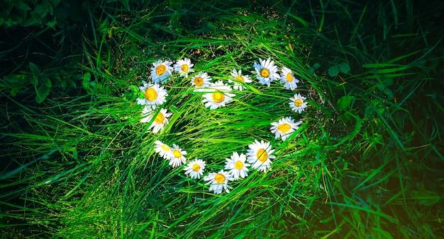 Цветы ромашки лежат на траве в форме сердца. зеленое фото летней концепции. идея любви природы.