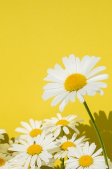 Camomile flowers on a bright yellow background, copy space for text.