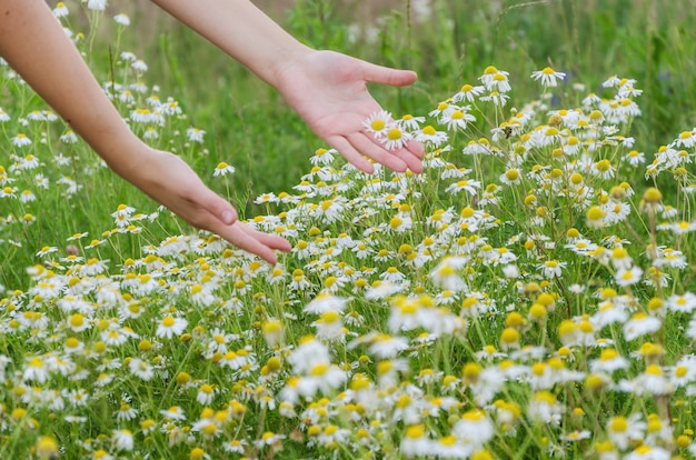 Camomile flowers in hand on wide field under midday sun