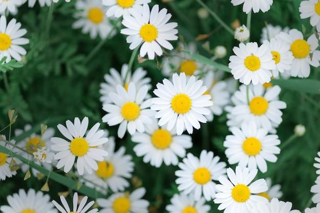 Ромашка в природе. поле цветков ромашки ромашки в летний день. фон цветы ромашки.