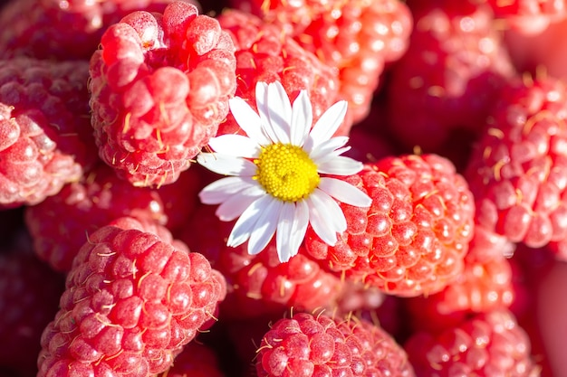 Camomile lying on a ripe red raspberry close-up