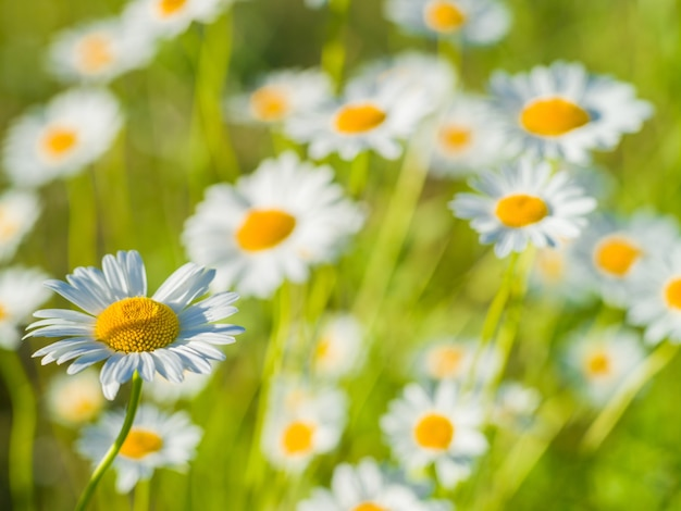 Полевые цветы ромашки на фоне зеленой травы в солнечный летний день. естественный летний фон