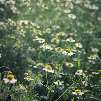 Camomiles on a meadow