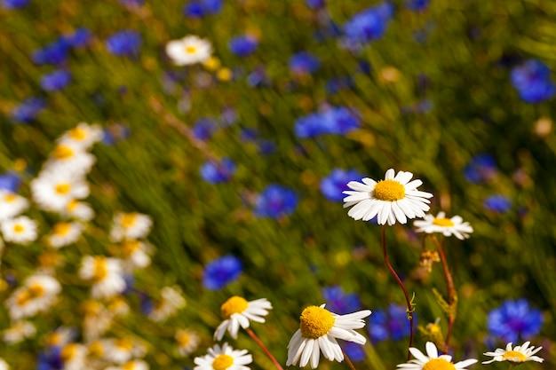 Ромашки - цветы белой ромашки, изображенные крупным планом