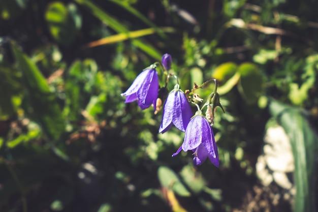 カンパニュラの花がフランス、ヴァノワーズ国立公園のビューをクローズアップ