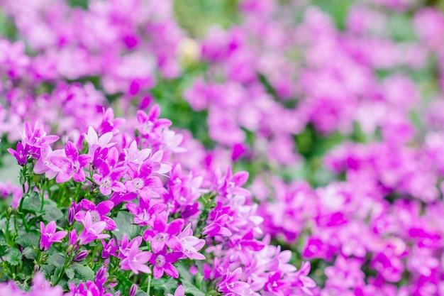 小さなcampanula花のマクロビュー