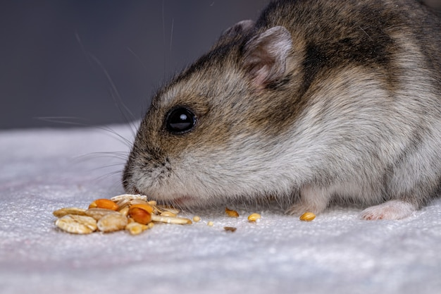 Campbell dwarf hamster of the species phodopus campbelli with selective focus