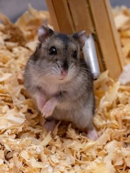 Campbell's dwarf hamster of the species phodopus campbelli with selective focus
