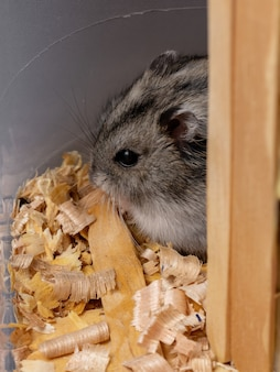 Campbell's dwarf hamster of the species phodopus campbelli