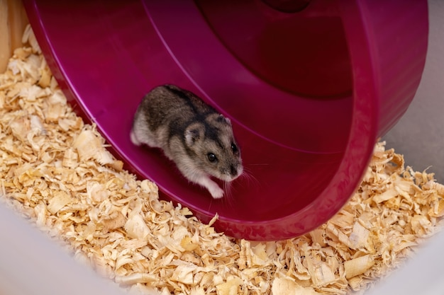 Campbells dwarf hamster of the species phodopus campbelli with selective focus