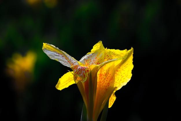 暗い背景のカナインディカの花