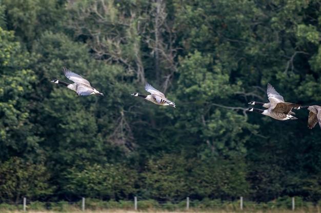 Канадские казарки (branta canadensis) летают над недавно убранным пшеничным полем