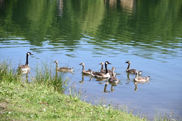 따뜻한 여름날 호수에서 캐나다 거위와 새끼