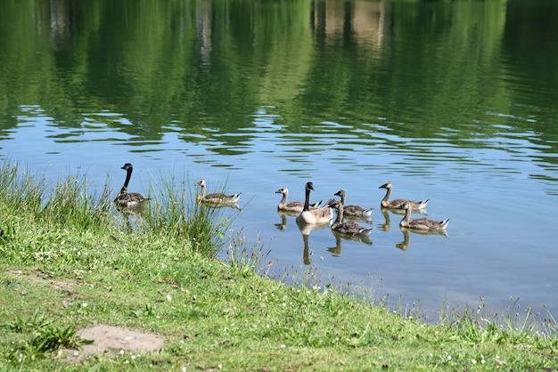 Канадский гусь и его потомство на озере в теплый летний день