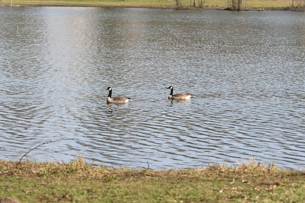 Canada goose in the lake on a warm spring day Premium Photo