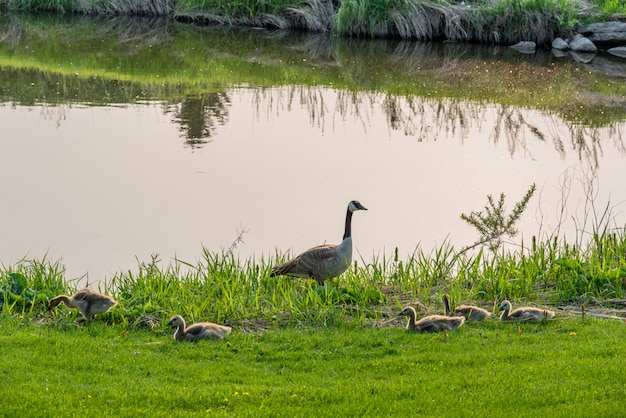 Canada goose with clutch of goslings beside a creek