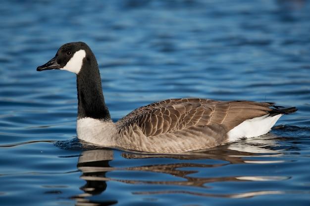 Canada Goose | Free Vectors, Stock Photos & PSD
