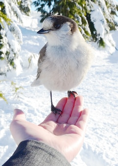 Canada jay resting on a person's hand in a snowy forest