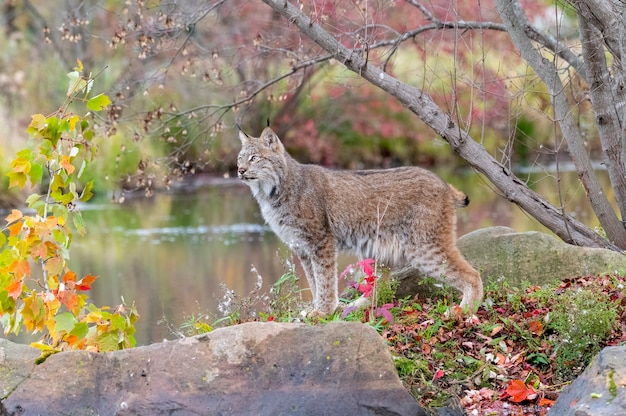 Canada lynx in autumn with water in background