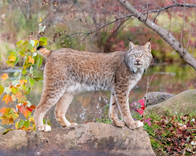 Canada lynx in autumn with water
