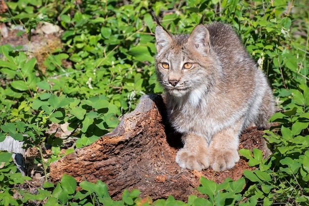 Canada lynx looking out into the fresh green spring landscape