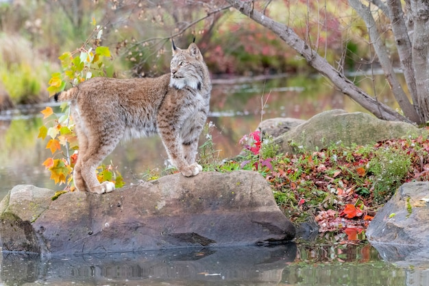 Canada lynx perched on a boulder with water