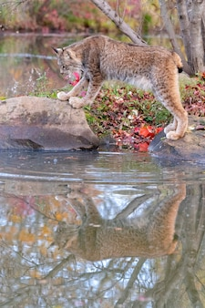 Canada lynx with reflection in water in autumn
