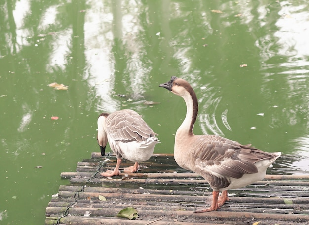 Canadian geese living on floating bamboo pranks at large green pond