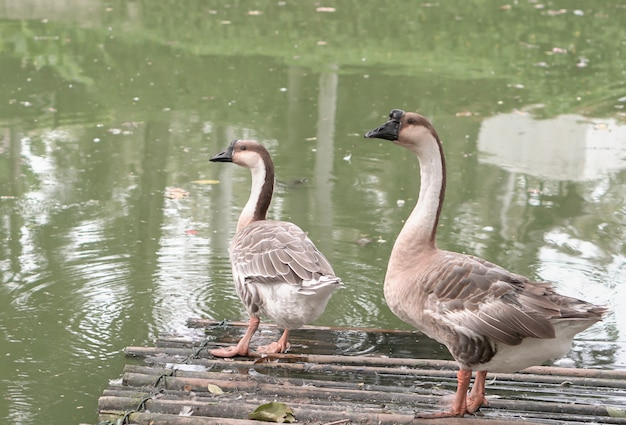 Canadian geese living on floating bamboo pranks