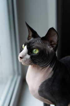Canadian sphinx sits on window sill