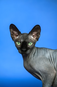 青い背景の上の愛らしい無毛の雌猫のカナダのスフィンクス猫のクローズアップの肖像画