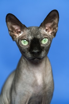 Canadian sphynx cat closeup portrait of smart cat on blue background front view looking camera