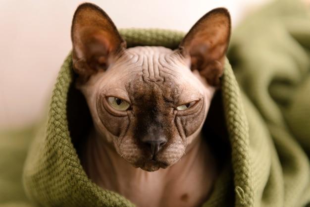 緑の毛布の下のカナダのスフィンクス猫