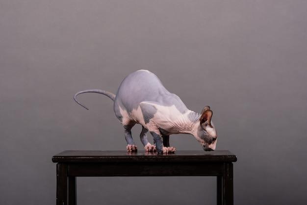 灰色の背景に座っている青い目をしたカナダのスフィンクス猫