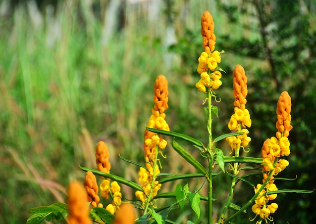 Candle bush senna in the meadow
