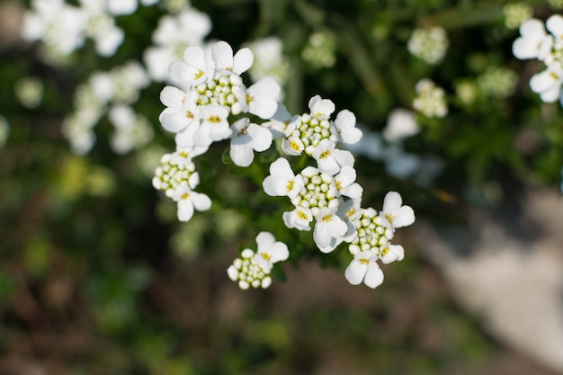 Candytuft花または咲くiberis sempervirensをクローズアップ