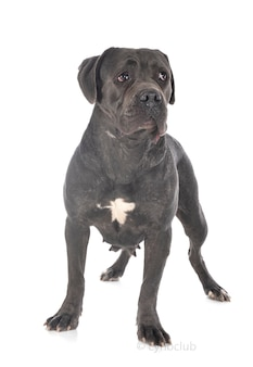 Cane corso dog isolated