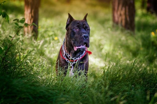 森の中を歩くカネコルソ犬