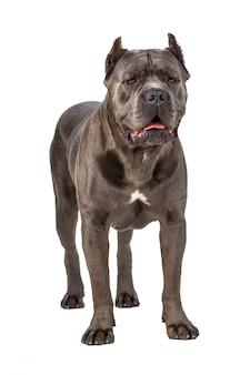 Cane corso dog on white