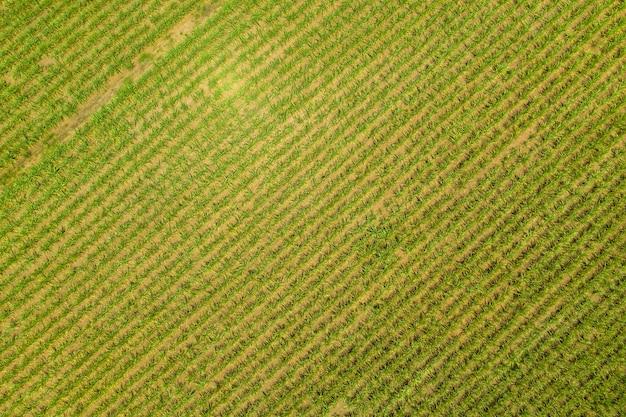 Поле тростника, вид сверху в солнечный день в бразилии