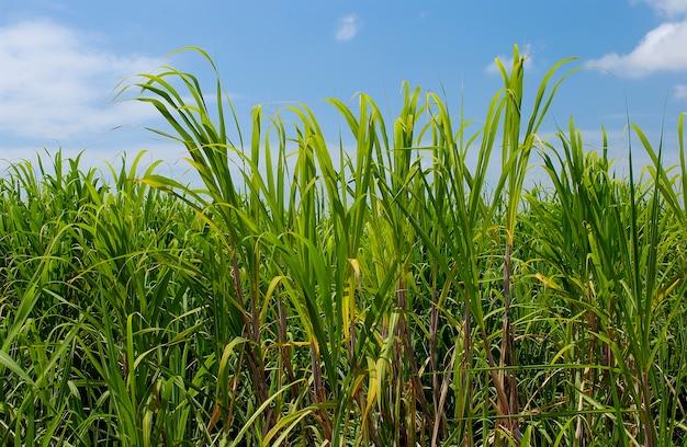 Поле тростника с зелеными листьями и голубым небом. фон сцены.